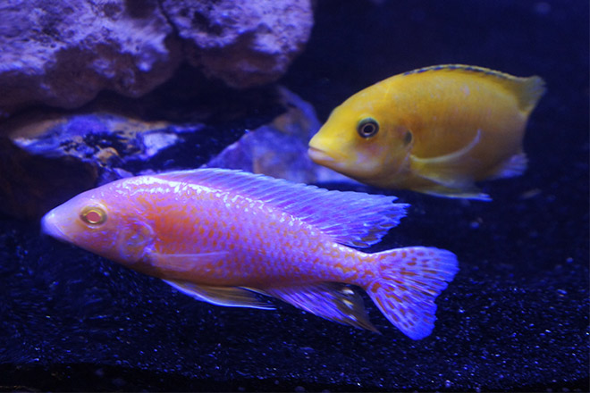 Aquarium residents enjoying their new man cave fish tank